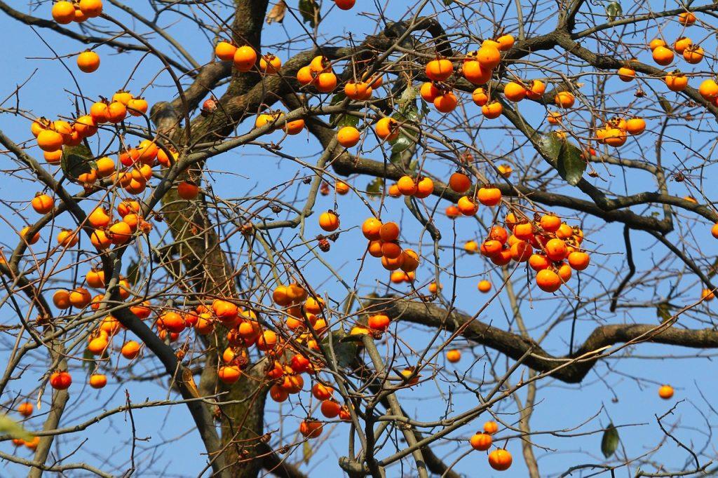 実家へ行って柿を収穫する。
