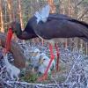 親鳥が雛を殺す