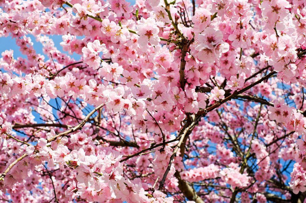 桜が見事に咲いている。